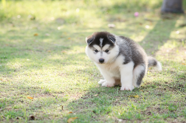 Cute siberian husky puppy pooping on green grass
