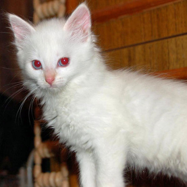 albino-cats-kittens-05