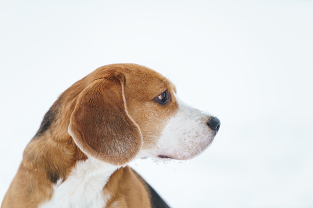 sad beagle dog outdoor portrait walking in snow
