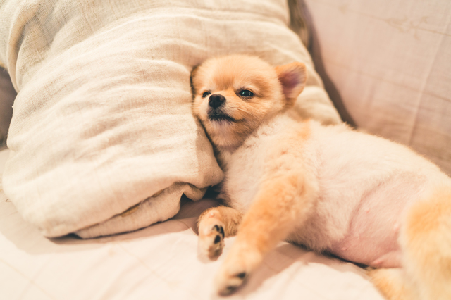 Cute pomeranian dog sleeping on pillow on bed, with copy space