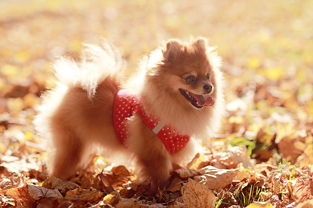 small dog Spitz red in autumn park