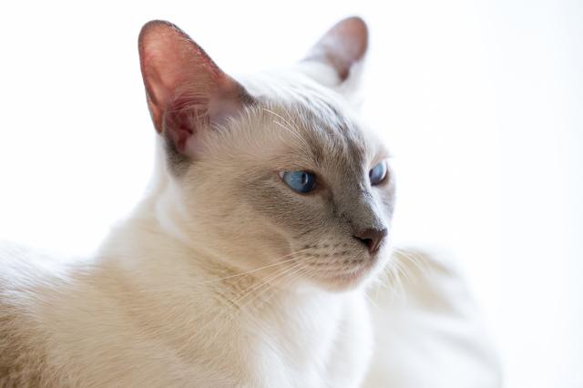 シャム 猫 性格
