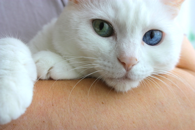 白猫 性格