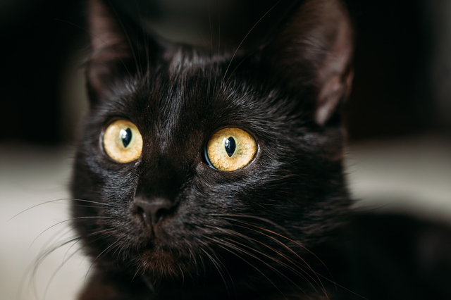 Close Up Portrait Peaceful Black Female Kitten Cat