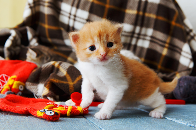 Red orange newborn kitten in a plaid blanket
