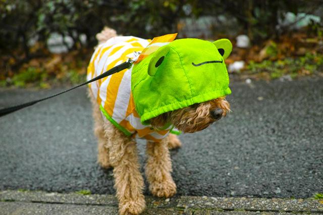 小型犬 散歩 仕方