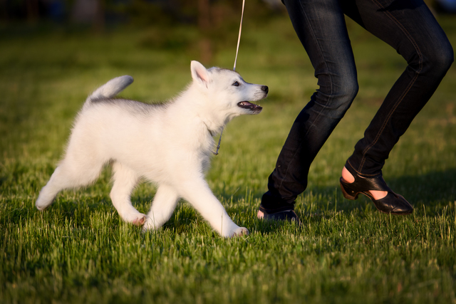 One Little cute puppy of Siberian husky