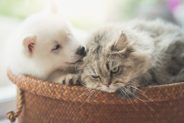 Cute siberian husky and persian cat lying