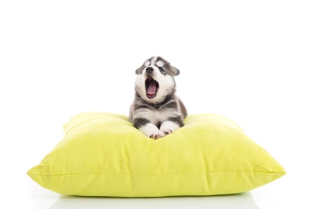 Cute siberian husky puppy yawning