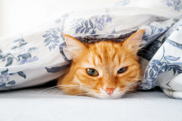 Cute ginger cat lying in bed under a blanket. Fluffy pet comfort