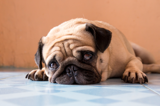 a cute Pug dog with a sad, fat face, sleep