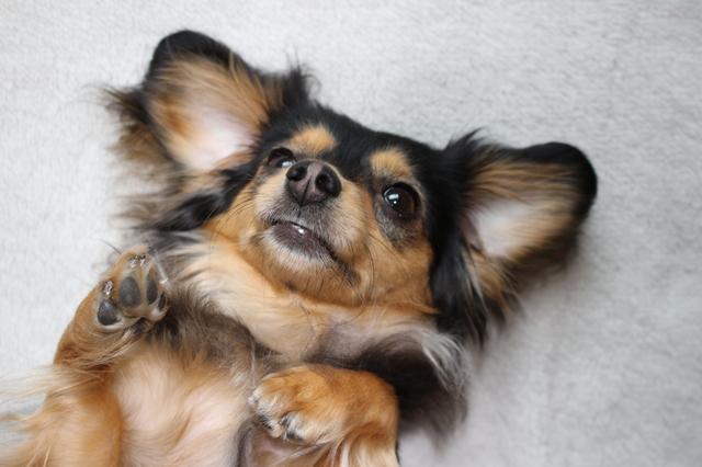 犬 耳の中 黒い