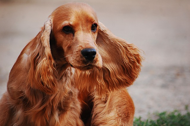 Cocker spaniel english 2388265 640