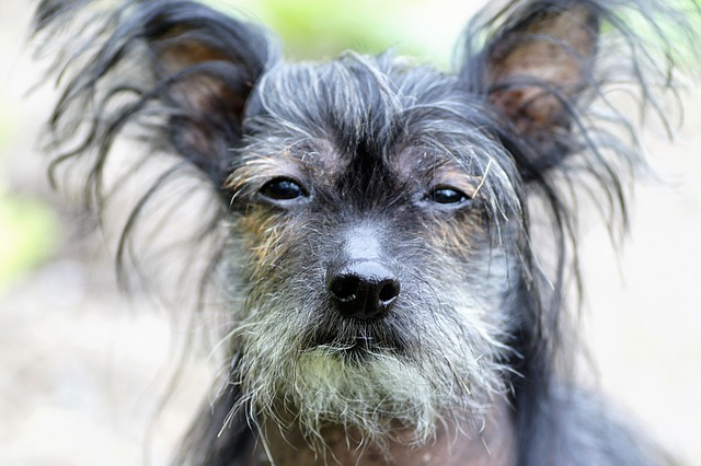Chinese crested dog 2295968 640