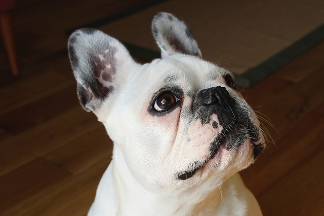 French bulldog 1104365 640