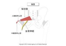 【イラスト付き】梨状筋の起始・停止を理解して触診・作用をマスターしよう。