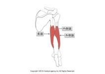 上腕三頭筋の解剖・運動学を図で理解しよう。