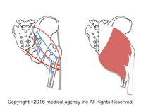 大殿筋の解剖学・運動学と歩行時の役割とは?