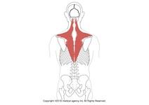 【イラスト】僧帽筋の起始・停止、支配神経からストレッチ、トレーニング