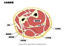 腕橈骨筋を正しく図で理解しよう。