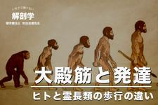 大殿筋と発達【ヒトと霊長類の歩行の違い】