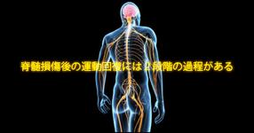 【脊損後リハのパラダイムシフトか?】脊髄損傷後の運動回復には2段階の過程がある