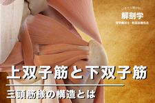 上双子筋と下双子筋について|いまさら聞けない解剖学講座