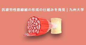 疲労しにくい筋肉(抗疲労性筋線維)の形成の仕組みを発見 九州大学