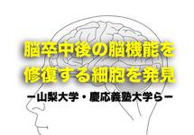 脳卒中後の脳機能を修復する細胞を発見|山梨大学ら
