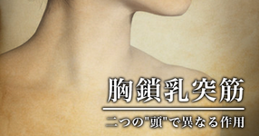 """胸鎖乳突筋 ~二つの""""頭""""で異なる作用~【教科書には載ってない解剖学】"""