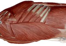 肩甲胸郭関節の可動性を低下させる広背筋の癒着を攻略