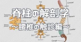 脊柱の解剖学  ~腰椎の触診編~