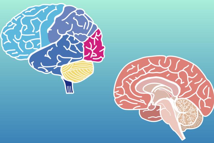 【完全商用フリー素材】自由に動かせる脳画像ダウンロード
