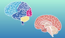 【完全商用フリー素材】自由に動かせる脳画像ダウンロード #2