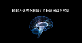 視床下部睡眠中枢と覚醒中枢の神経接続の解明|筑波大