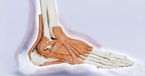 膝の問題に密接に関係する「立方骨」の触診