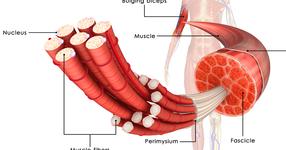 筋肉の硬さが短距離・長距離の得意さに関係する? 順天堂大の報告