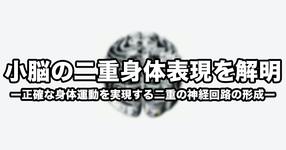【東京医科歯科大学】小脳の二重身体表現を解明ー正確な身体運動を実現する二重の神経回路の形成ー