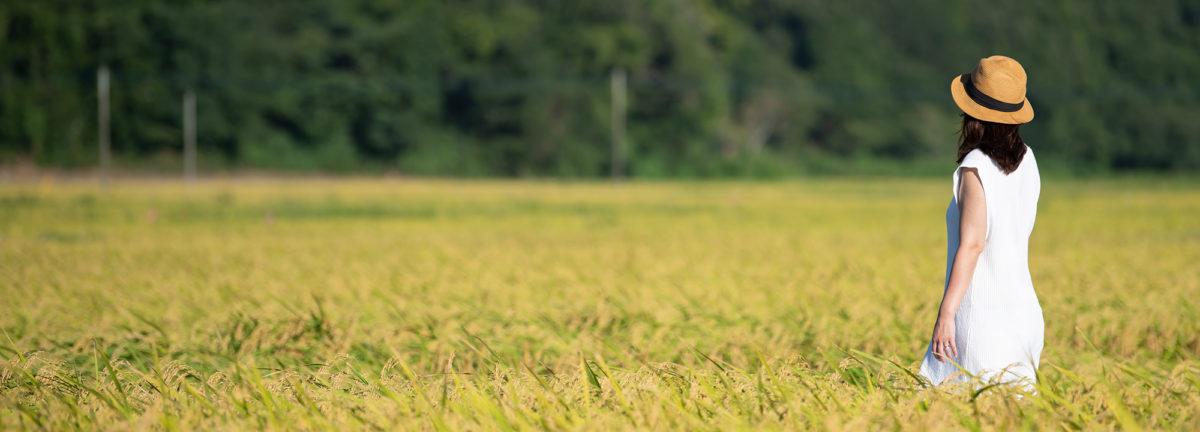 Rice fields in Tako Town