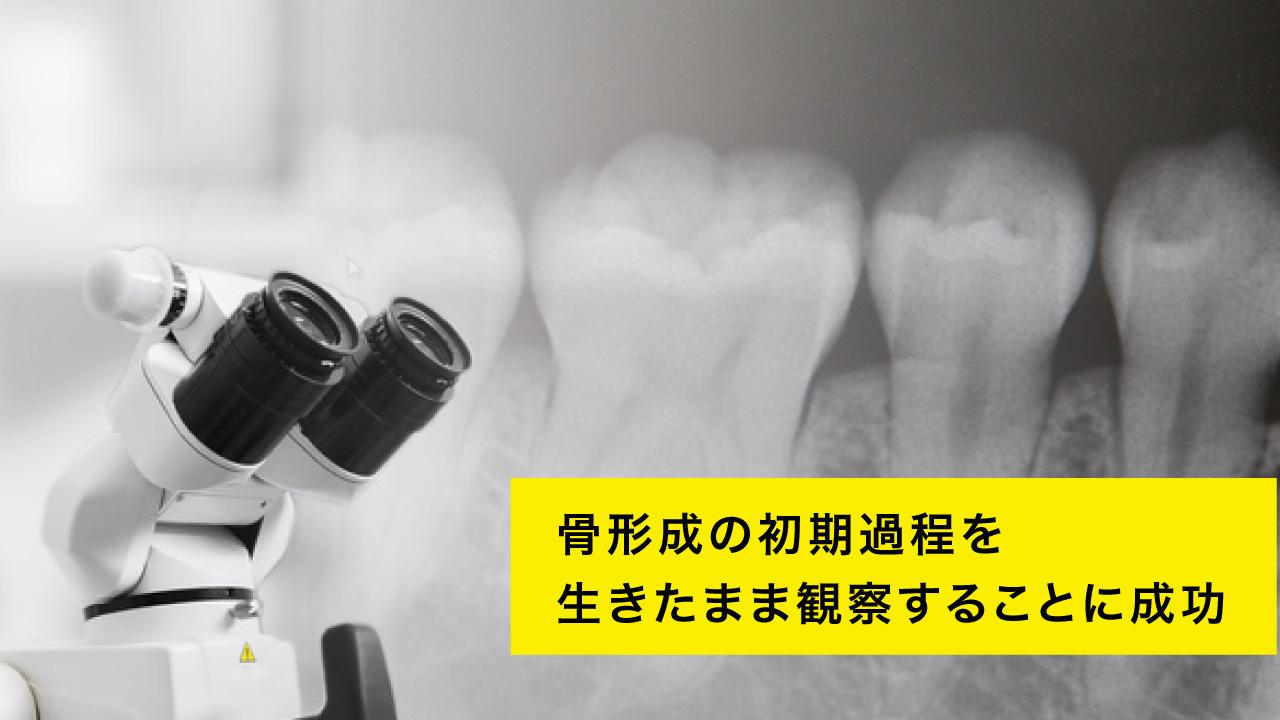 骨形成の初期過程を生きたまま観察することに成功 大阪大の画像です