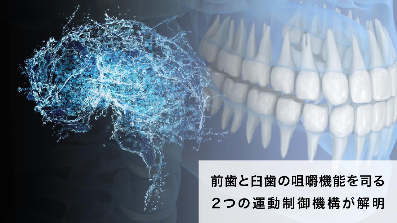 前歯と臼歯の咀嚼機能を司る2つの運動制御機構が解明 東京医歯大の画像です