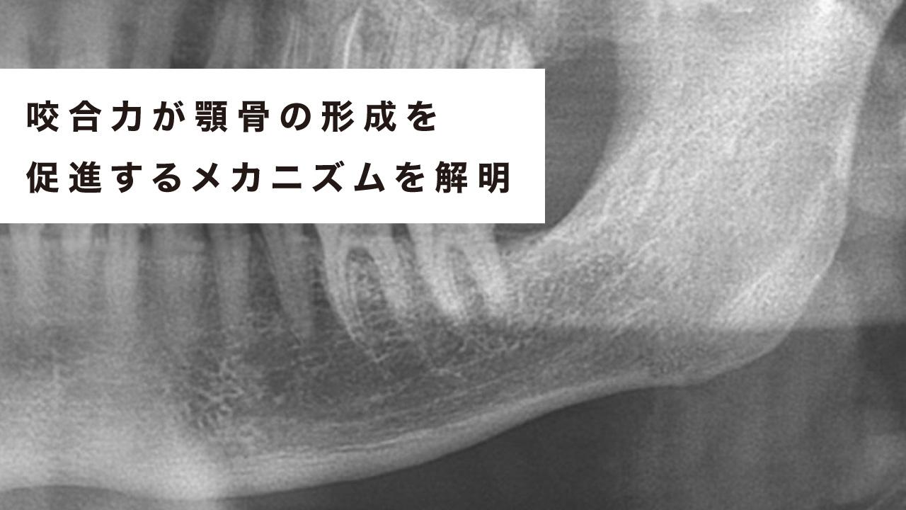 咬合力が顎骨の形成を促進するメカニズムを解明 東京医歯大の画像です