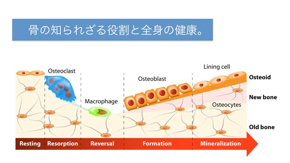 骨への負荷で若返り物質が早期分泌、岡山大歯学部が解明の画像です
