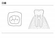 臼歯の説明(モノクロ)の画像です