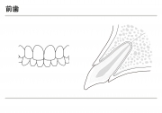 前歯の説明(モノクロ)の画像です