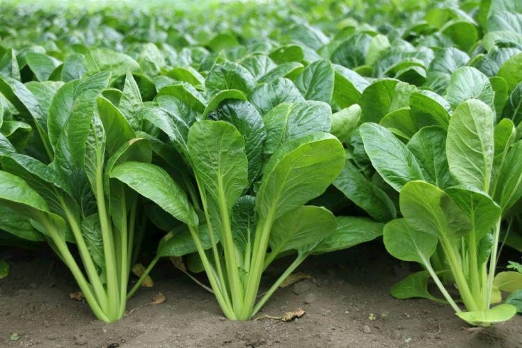 冬野菜の敵!ハクサイダニを防除しよう!生態や防除方法について紹介