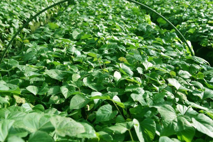 サツマイモ(甘藷)栽培で重要な育苗を重点解説。最新の技術動向も紹介