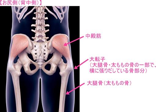 中殿筋は骨盤と大腿骨・大転子をつなぐ筋肉