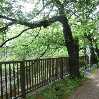 石神井川沿いで、緑がいっぱい。