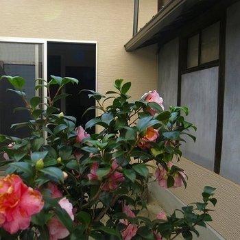 椿が前庭にも奥庭にも咲いていました